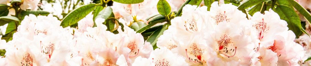 rhododendron pflege gartencenter edesheim. Black Bedroom Furniture Sets. Home Design Ideas